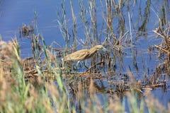 Цапля Squacco в болоте Стоковое фото RF