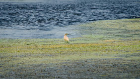 Цапля squacco в середине вод Стоковые Фото