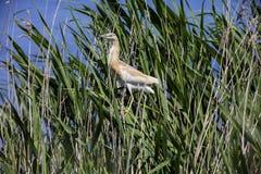 Цапля Squacco на озере Стоковое фото RF