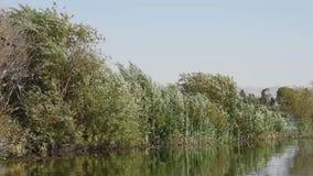 Цапля Squacco садить на насест на тростнике травы акции видеоматериалы