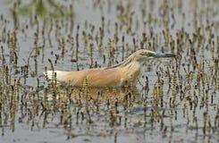 Цапля Squacco садилась на насест в воде на тростниках травы Стоковые Фотографии RF
