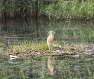 Цапля Squacco садилась на насест на плавая сплотке тростников травы Стоковое фото RF