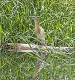 Цапля Squacco садилась на насест на тростниках травы имени пользователя Стоковые Изображения RF