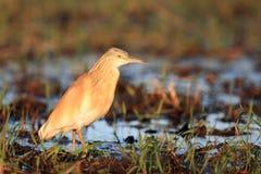 Цапля squacco стоя в реке в свете утра Стоковые Изображения
