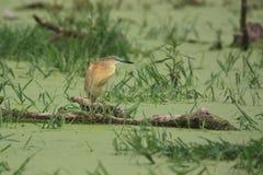Цапля Squacco - ralloides Ardeola Стоковая Фотография RF