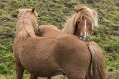 Царапать 2 исландский лошадей Стоковые Изображения RF