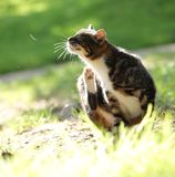 Царапать кот Стоковая Фотография