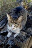 Царапать кот tabby Стоковые Изображения RF