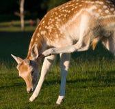 царапать оленей самеца оленя залежный Стоковое фото RF