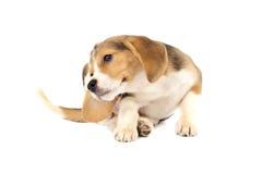 царапать щенка beagle Стоковое Изображение RF