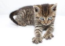 царапая котенок Стоковые Изображения RF