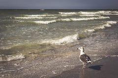 Царственная чайка Стоковая Фотография RF