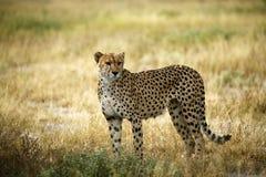 Царственный гепард стоковое изображение rf