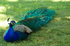 Царственный и красочный павлин отдыхая в испанском саде Стоковая Фотография RF