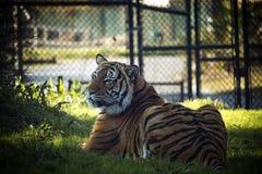 Царственный тигр стоковые изображения