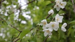 Цвести белые цветки и сильный ветер в саде акции видеоматериалы