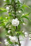 Цвести белых цветков стоковое изображение