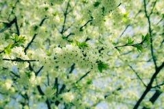 Цвести весны ветви дерева Селективный фокус тонизировано Стоковые Фото