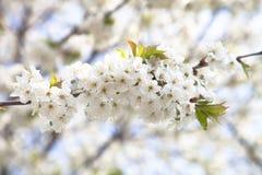 Цвести весны ветви дерева Селективный фокус Стоковые Фотографии RF