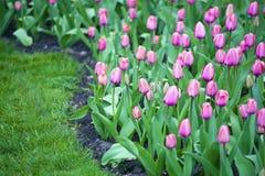 Цвести весны розовых тюльпанов Стоковое Фото