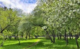 Цвести весны яблока и вишня в городе паркуют на яркой Стоковое фото RF