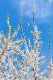 Цвести весны Стоковые Изображения RF