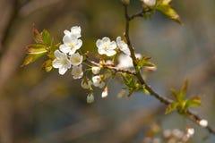 Цвести весны Стоковые Изображения