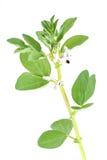 цвести ветви фасоли Стоковые Изображения