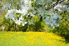 цвести ветви Стоковая Фотография