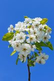 цвести вишни ветви Стоковое фото RF