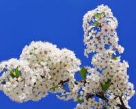 цвести вишни ветви Стоковое Фото