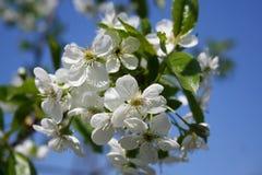 цвести вишни Стоковая Фотография