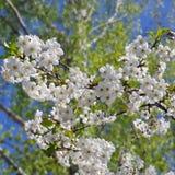 цвести вишни Стоковое Изображение