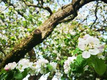 Цвести в старом саде стоковая фотография rf