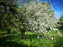 Цвести в старом саде стоковое изображение rf