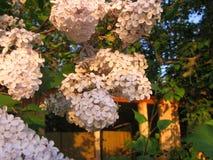 Цвести душистые цветки нежной сирени в саде весной стоковое изображение rf