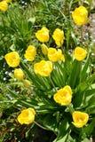 Цвести желтые тюльпаны, золотая ранг магната стоковое фото