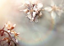 Цвести - зацветая ветвь природы фруктового дерев дерева красивой весной Стоковые Изображения