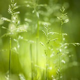 Цвести зеленой травы в июне Стоковые Фото