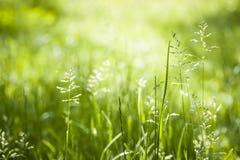 Цвести зеленой травы в июне Стоковые Изображения