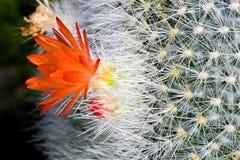 цвести кактуса Стоковые Фотографии RF