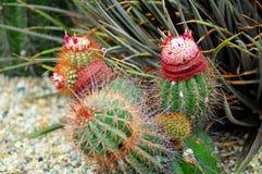 Цвести кактуса стоковая фотография