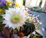 цвести кактуса clumy цветет рост как новые стороны малые Стоковое фото RF