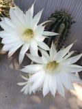 цвести кактуса clumy цветет рост как новые стороны малые Стоковые Изображения RF