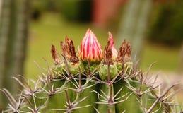 цвести кактуса clumy цветет рост как новые стороны малые Стоковое Изображение RF