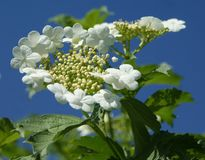 Цвести калины Изумительная красота нежных цветорасположений стоковое фото