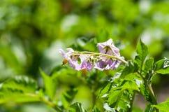 Цвести картошки Стоковое Изображение