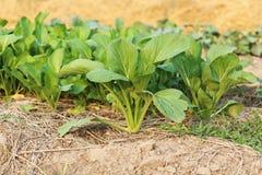 цвести китайца капусты Стоковые Изображения RF