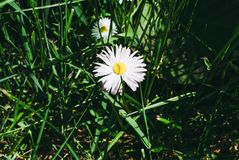Цвести маргариток Маргаритка Oxeye, vulgare Leucanthemum, маргаритки Стоковое Фото