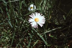 Цвести маргариток Маргаритка Oxeye, vulgare Leucanthemum, маргаритки Стоковые Изображения RF